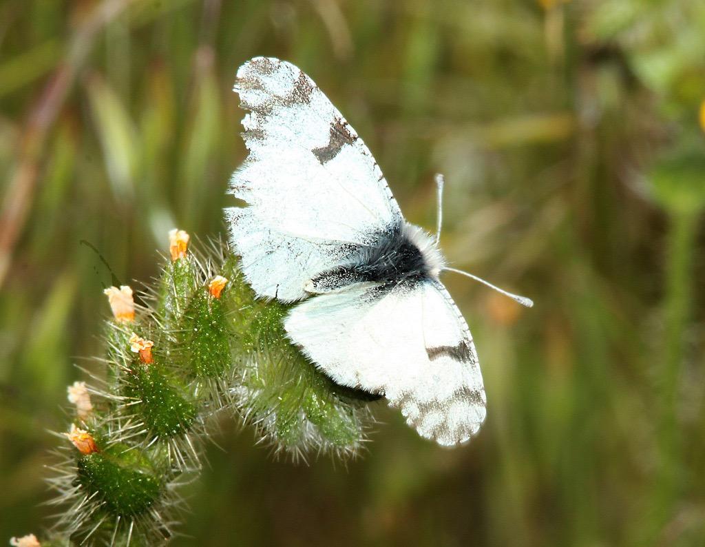 Desert Marble Butterfly Description Characteristics