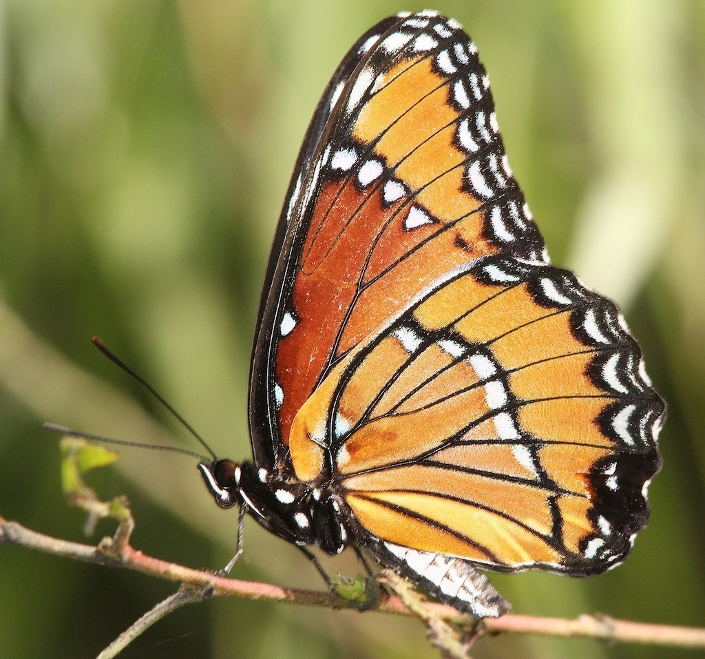 Viceroy Butterfly ... wings closed