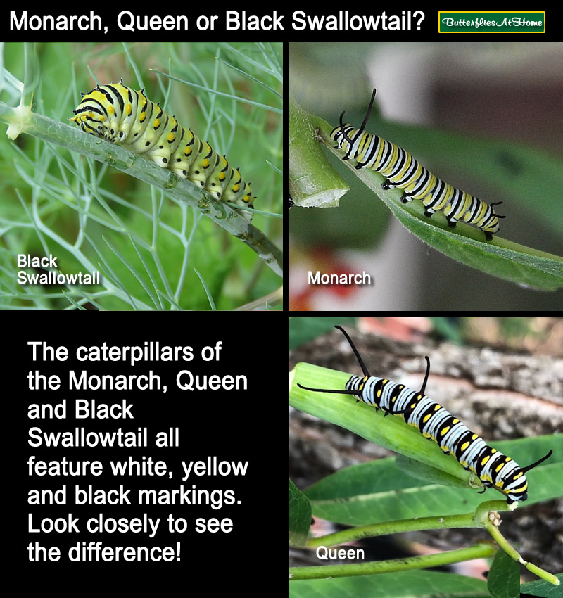 Comparison between the Monarch, Queen and Black Swallowtail caterpillars