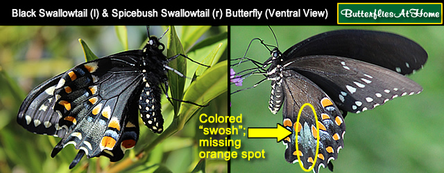 Comparison of Black Swallowtail and Spicebush Swallowtail ventral markings