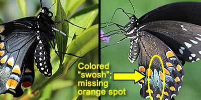 Swallowtail Butterfly Comparison - Is it a Black Swallowtail