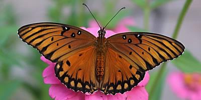 Gulf Fritillary Butterflies Size Nectar Plants Host Plants Photographs