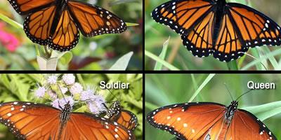 Monarch butterfly body - photo#38