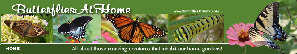 Home Page of Butterflies at Home ... All about those amazing creatures that inhabit our home gardens!