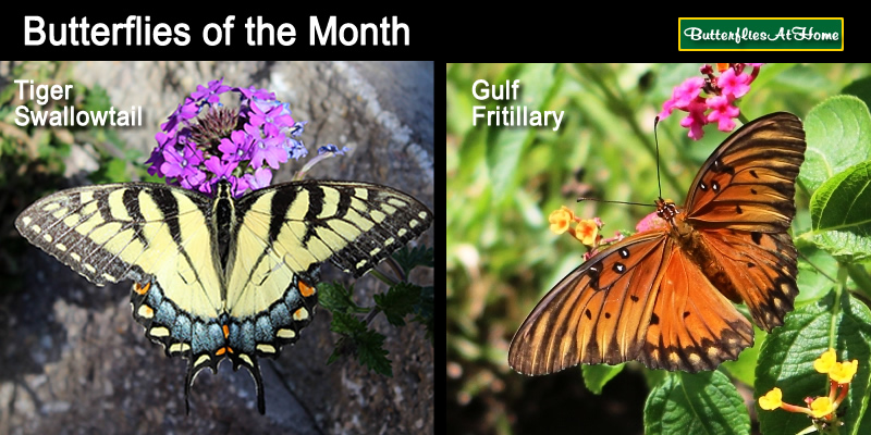 Our butterflies of the month: The Tiger Swallowtail and the Gulf Fritillary