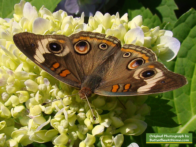 Buckeye Butterfly on Hydrangea in the summertime in Texas