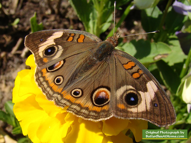 Yellow Zinnia With Buckeye Butterfly