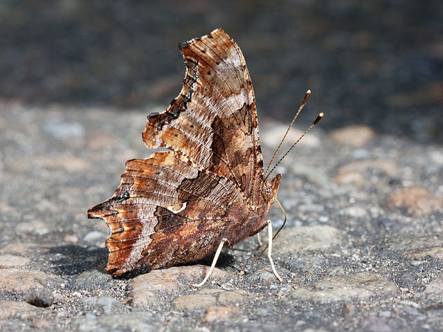 Eastern Comma Butterfly ... wings closed