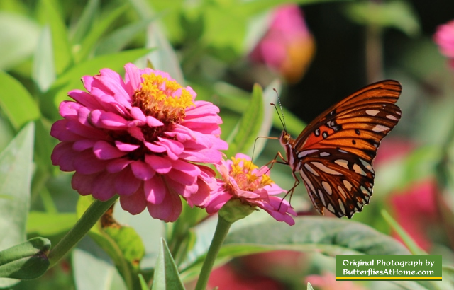 Gulf Frittilary Butterfly (wings closed) on Zinnia - Tyler Texas