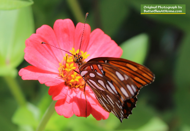 Gulf Fritillary Butterfly on orange Zinnia