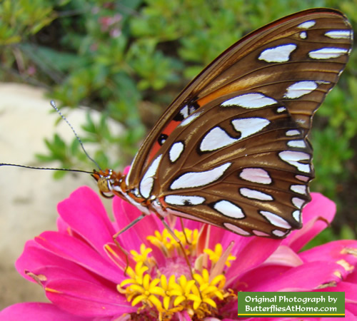Gulf Frittilary Butterfly (wings closed) on Zinnia in Texas