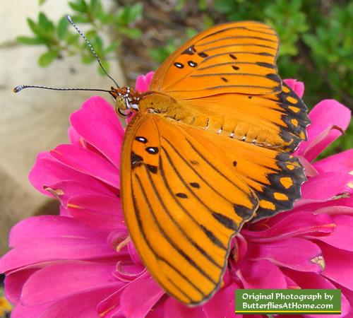 Butterfly Bush Florida