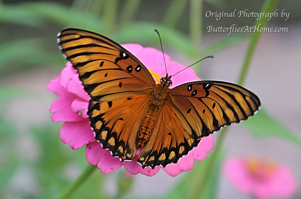 An adult Gulf Fritillary Butterfly on a Pink Zinnia - Fall, 2016