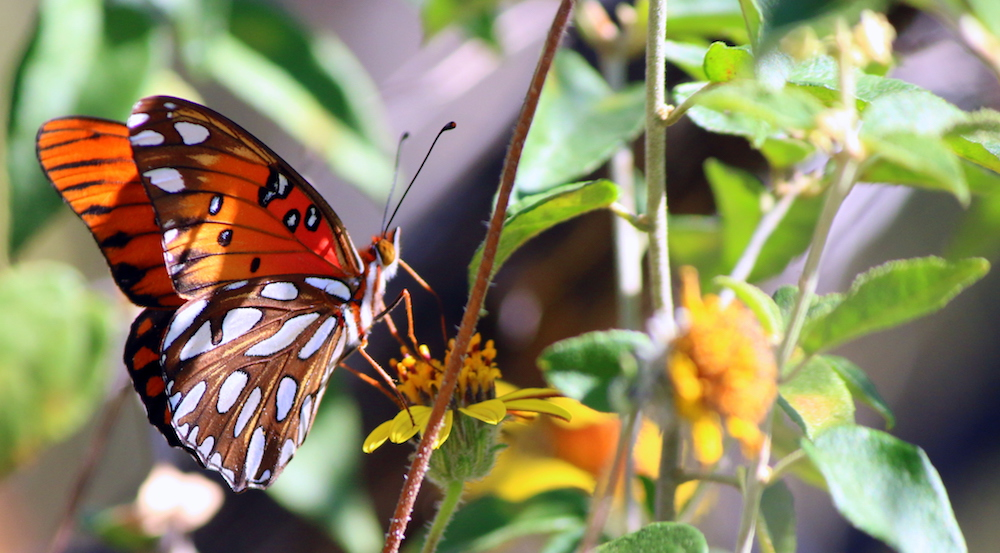 Gulf Fritillary butterfly at Eisenhower Park, San Antonio, Texas
