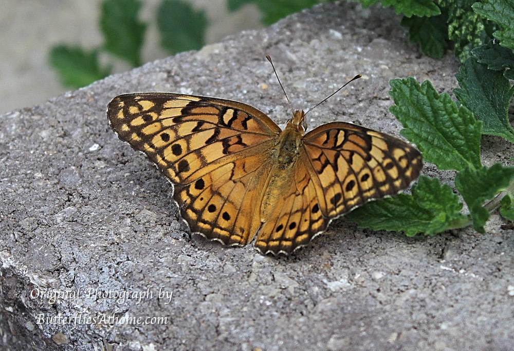 Variegated Fritillary Butterfly warming itself on concrete