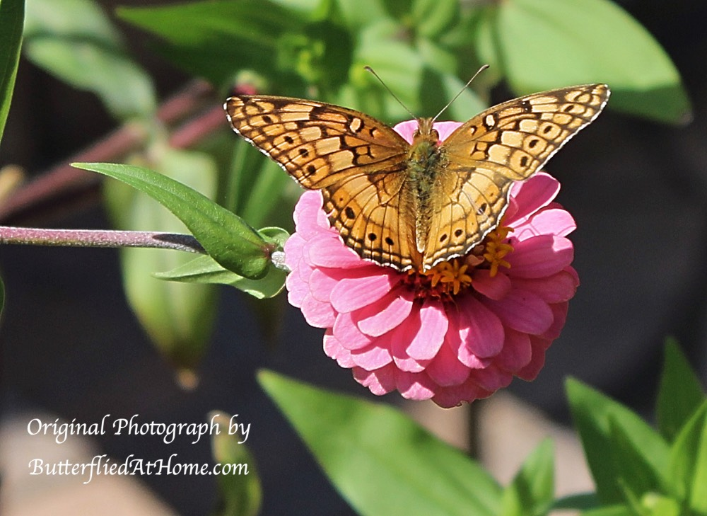 Variegated Fritillary Butterfly on Pink Zinnia