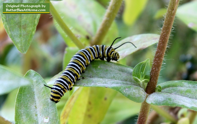 "A mature Monarch Butterfly caterpillar ... roaming on Zinnias, looking for the perfect place to assume the ""J"" Position"