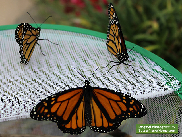 New Monarch Butterflies ready to fly!