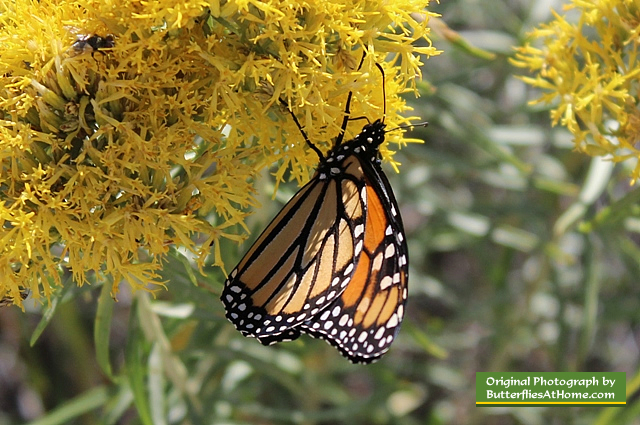 Monarch Butterfly ... seen in the Badlands National Park, South Dakota