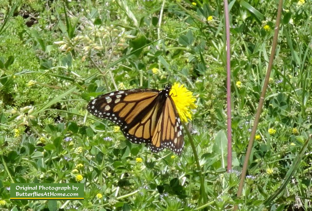 Monarch Butterfly ... in the spring wildflowers, near Ennis, Texas