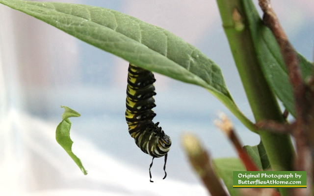 "Monarch caterpillar relaxing out of the ""J"" position, body stretched, feelers limp"