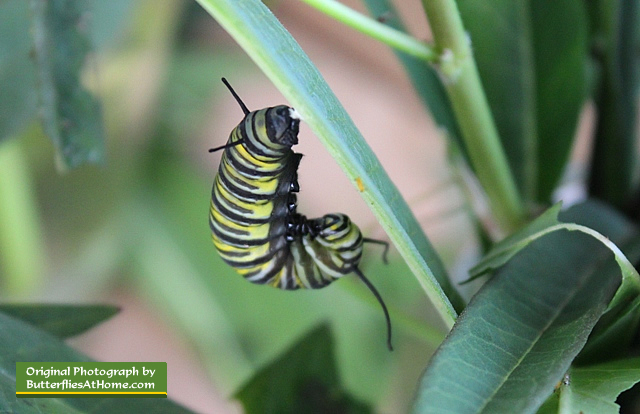 "Monarch caterpillar in the ""J"" position, tail attached to a Milkweed leaf"