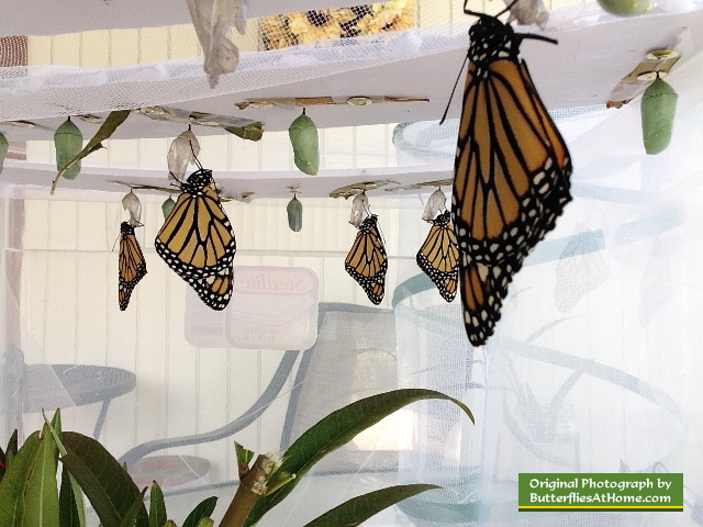 "Our Monarch Butterfly ""incubator"" ... where 44 butterflies were hatched"