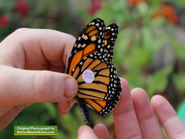 Carefully placing a Monarch Watch tag on a Monarch Butterfly