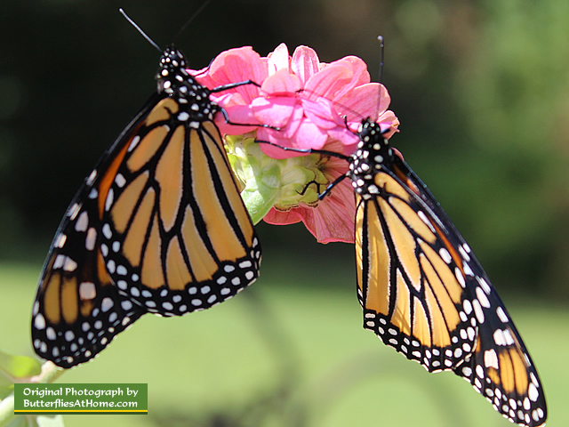 Male (l) and female (r) Monarch Butterfllies on a pink Zinnia