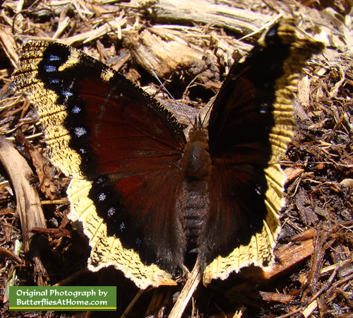 Mourning Cloak Butterfly in East Texas