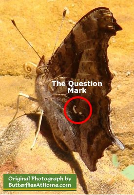 The markings on the Question Mark butterfly that give it the name