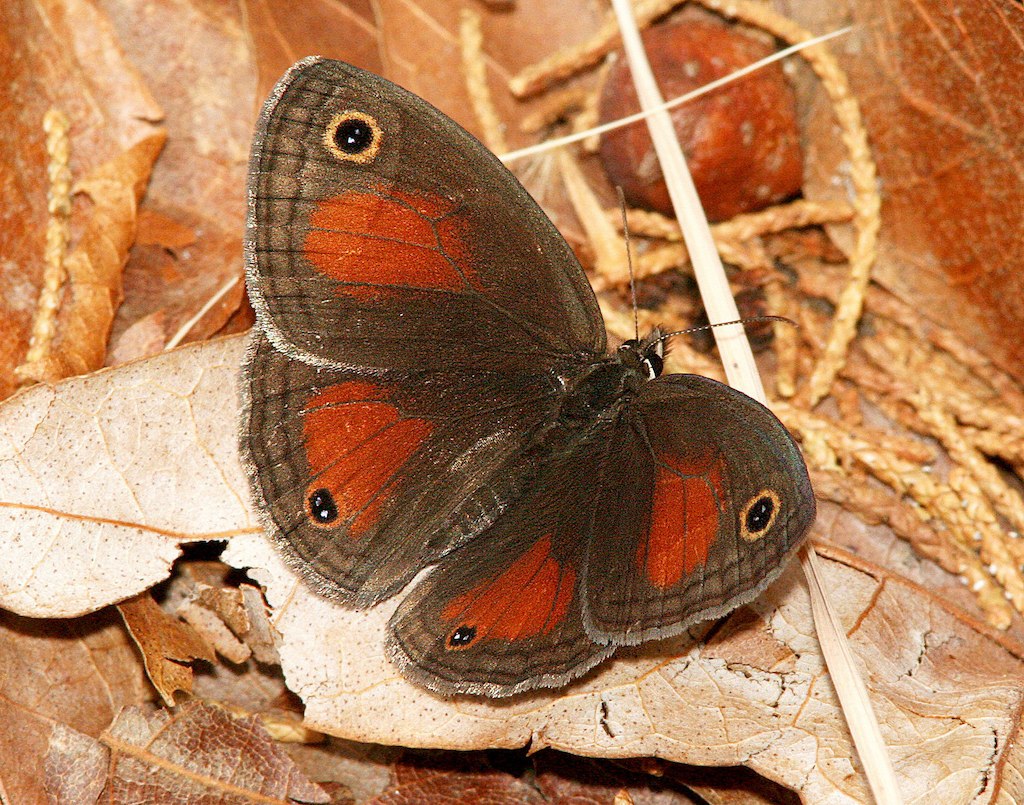Photo of a Red Satyr Butterfly