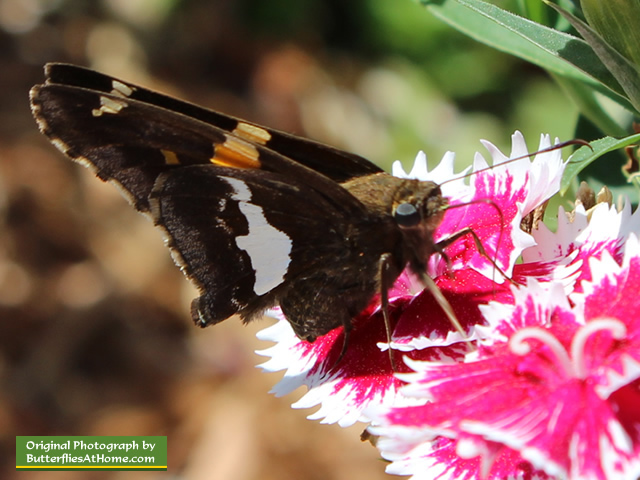 Silver Spotted Skipper feeding on Dianthus
