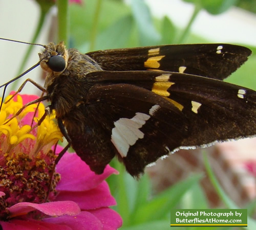 Silver Spotted Skipper on Zinnias in East Texas near Tyler