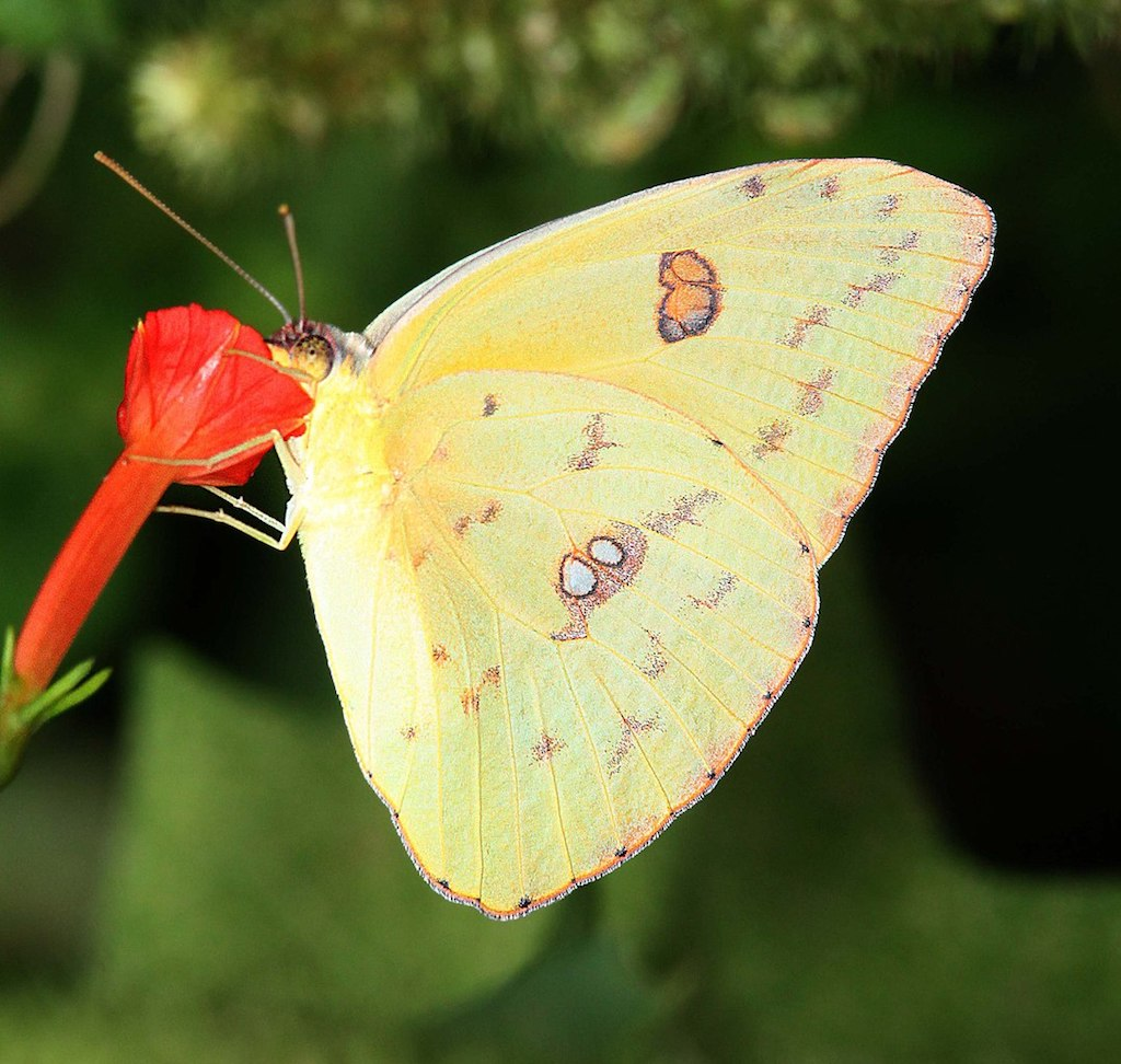 Cloudless Sulphur Butterfly: Identification, Facts, & Pictures |Clouded Sulphur Butterfly