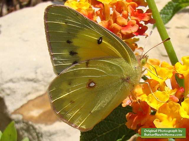 Orange Sulphur Butterfly feeding on Lantana