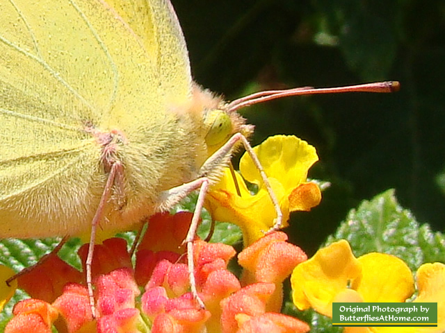 Orange Sulphur Butterfly ... up close and personal!