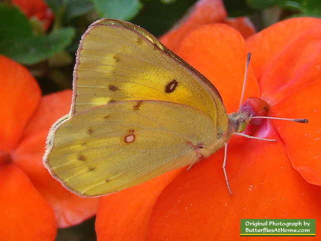 Orange Sulphur Butterfly in East Texas