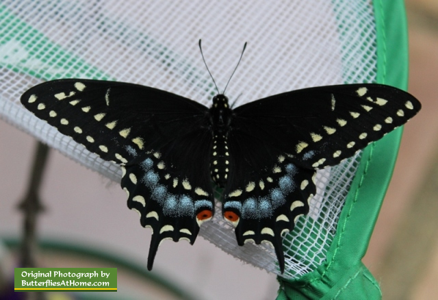 The first Black Swallowtail butterfly to emerge from its chrysalis, on March 27, 2014, after overwintering