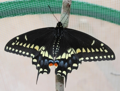 Male Black Swallowtail butterfly