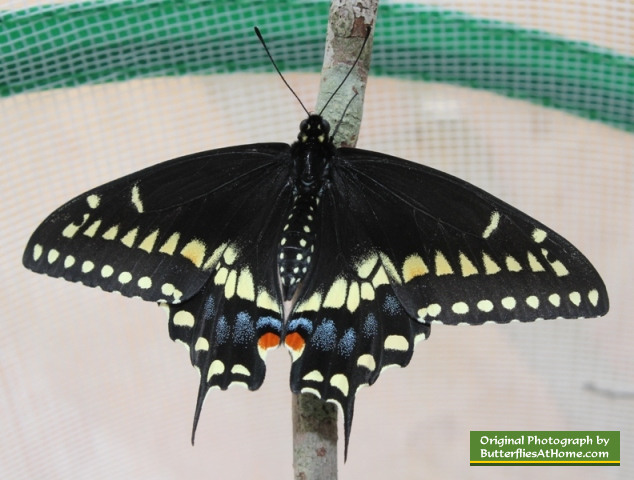 The second Black Swallowtail butterfly to emerge from its chrysalis, on April 1, 2014, after overwintering in Texas