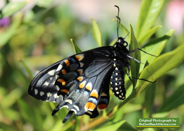 The third Black Swallowtail butterfly to emerge from its chrysalis, on April 4, 2014, after overwintering