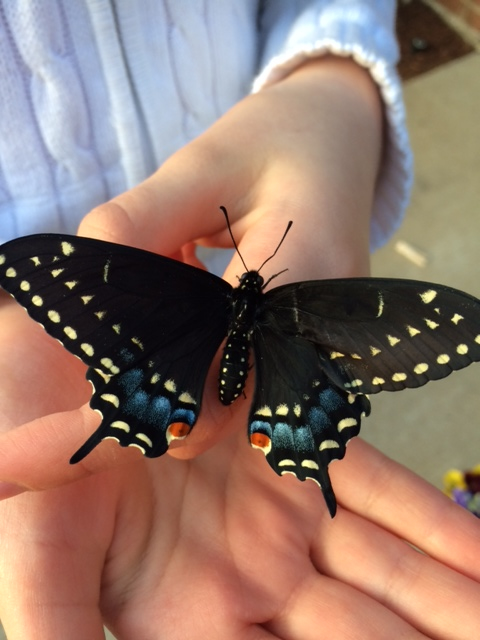 A newly hatched Black Swallowtail Butterfly