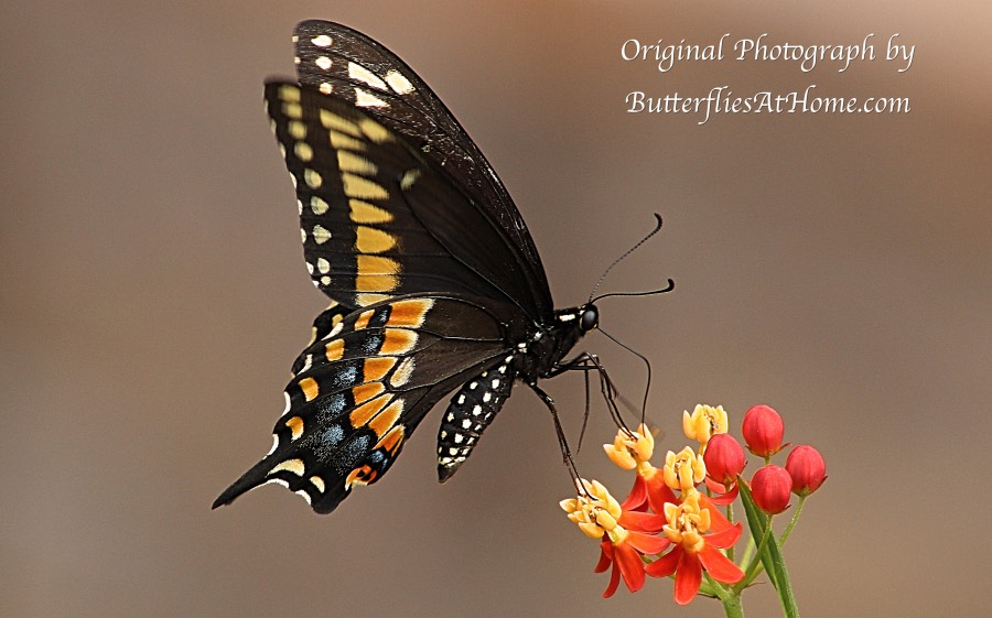 Black Swallowtail butterfly (ventral view) gathering nectar from a Milkweed flower