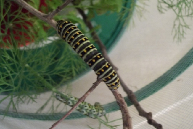 Black Swallowtail Caterpillar ... mostly black