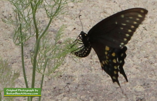 Female Black Swallowtail butterfly laying eggs on dill