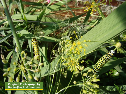 Two Black Swallowtail Caterpillars feeding on Dill in East Texas