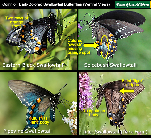 Swallowtail Erfly Comparison Is