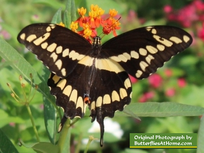 Giant Swallowtail on Milkweed flowers