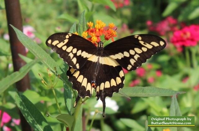 Giant Swallowtail Butterfly on Texas Milkweed